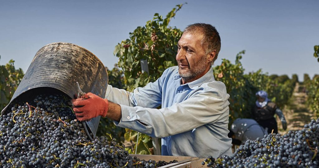 Особенности производства вина из винограда холодного климата